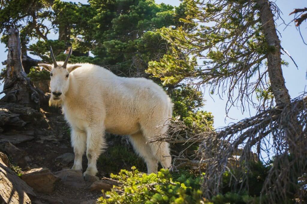 A mountain goat on Mount Ellinor