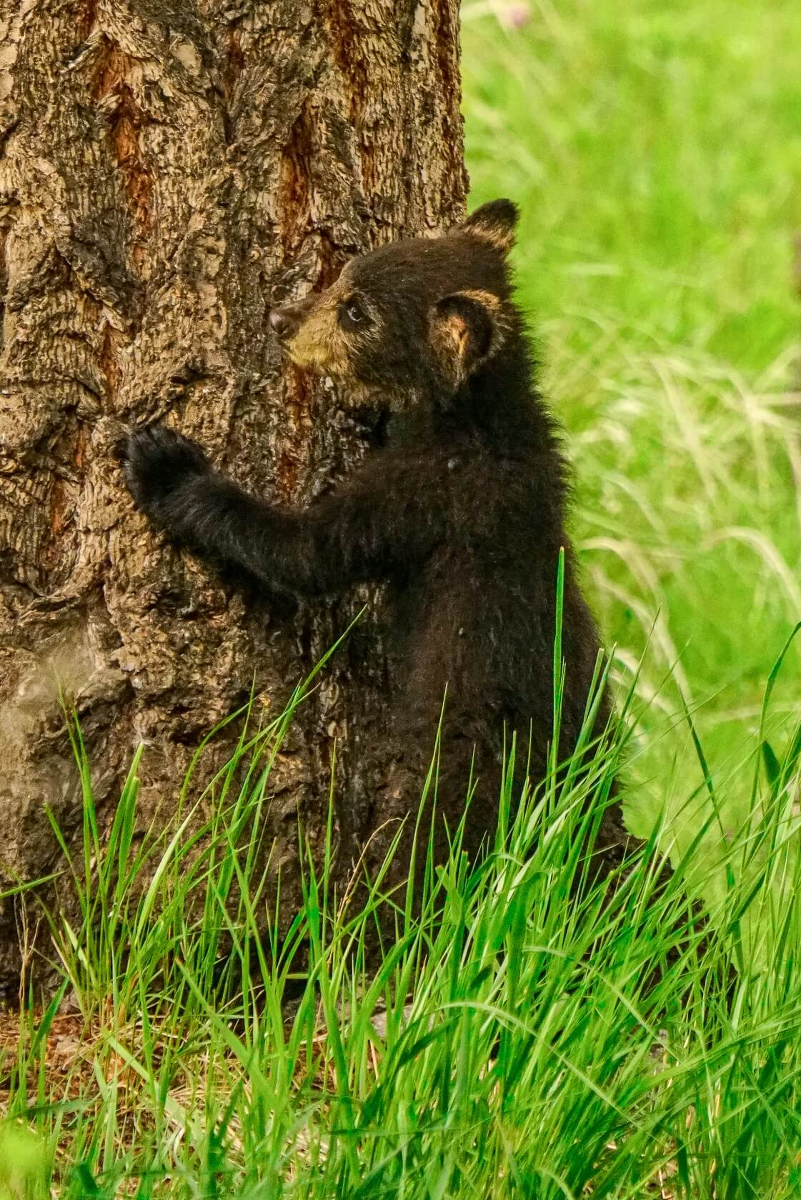 A black bear cub leans against a tree in Yellowstone